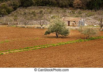 champ, ferme, arbre, petit, croatie, olive