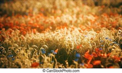 champ, fleur sauvage, coucher soleil