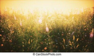 champ, fleurs sauvages, été, coucher soleil