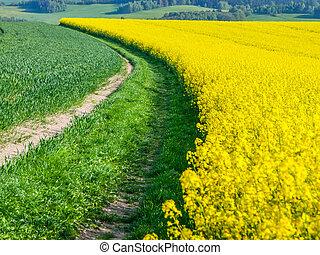 champ jaune, colza, plante