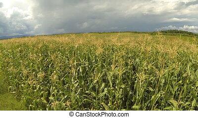 champ maïs, aérien