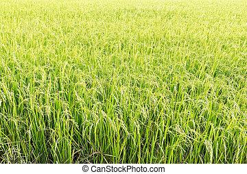 champ, paddy, riz vert