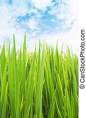 champ, riz vert