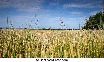champ, somme, blé, or, vague