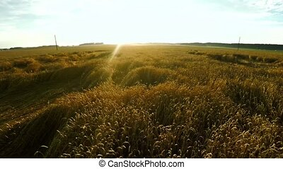champ, sur, voler, blé
