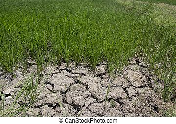 champ, toqué, riz, séché, la terre