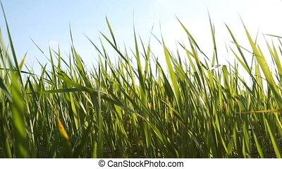 champ, vert, sways, sous, herbe, vent