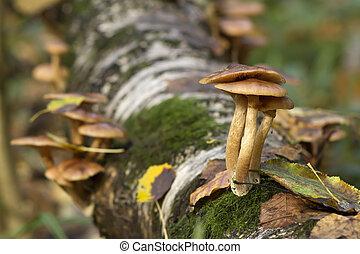 champignons, tronc arbre