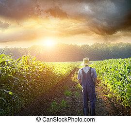 champs, marche, coucher soleil, maïs, paysan