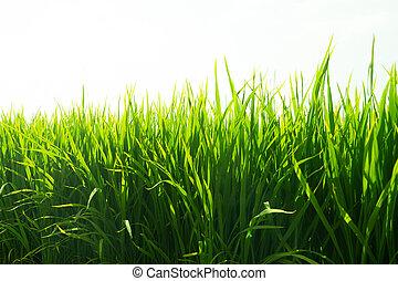 champs, paddy riz