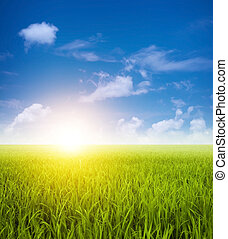 champs, paysage vert, paddy