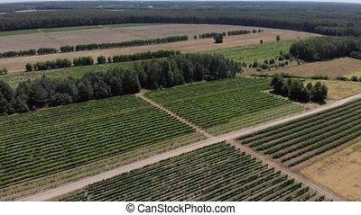 champs, raisins, au-dessus, vue aérienne