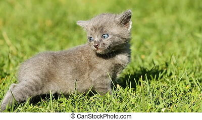 chaton, herbe