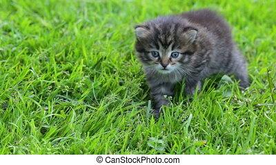 chaton, peu, herbe