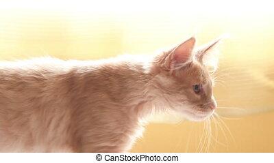 chatons, ensemble, chats, chat, curieux, deux, gingembre, jouer, rouges, nègre, shag, sofa., maine, maison, rigolote, jeune