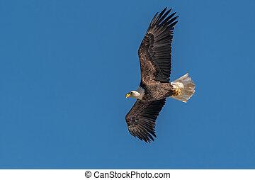 chauve, aigle volant