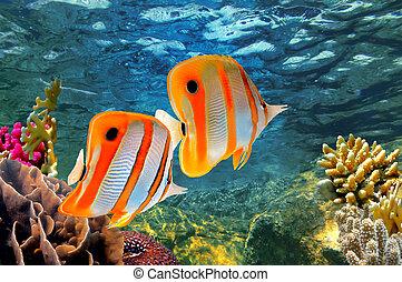 (chelmon, copperband, butterflyfish, rostratus)