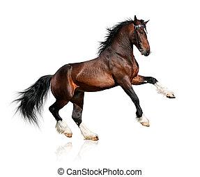 cheval, baie, blanc, isolé