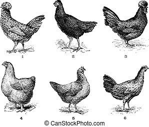 chicken., 5., crevecoeur., poule, poulet, 6., arrow., 4., cochin, 2., vendange, 1., 3., hen., dorking, houdan, engraving., bresse, poules