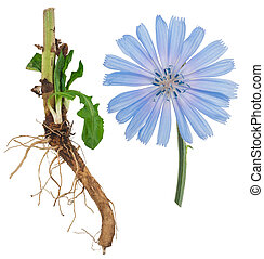chicorée, médicinal, plant: