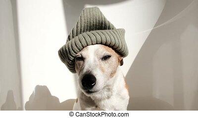 chien, chapeau, rigolote, studio
