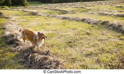 chien, lumière soleil, champ, courant, vert, colley