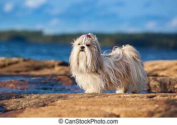 chien, shih-tzu