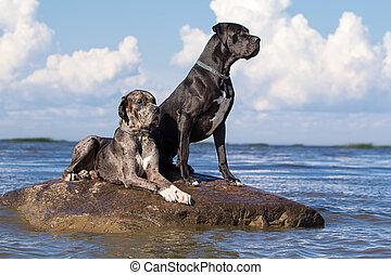 chiens, rocher, deux, mer, mastiff