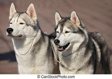 chiens traîneau sibériens