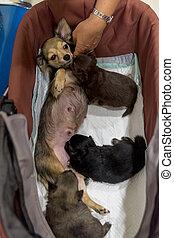 chihuahua, alimentation, lait, mère