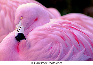 chilien, flamant rose