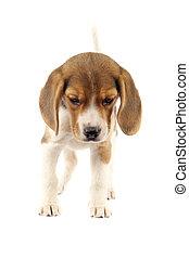 chiot, beagle