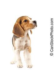 chiot, beagle, petit