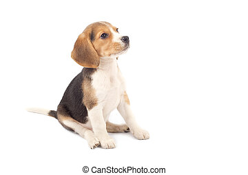 chiot, beagle, séance