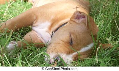 chiot, chien, dormir, américain, staffordshire, herbe, terrier