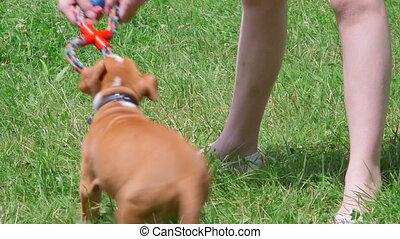 chiot, staffordshire, chien, américain, enfant, herbe, terrier, jouer