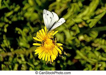 chou, fleur, papillon, pissenlit