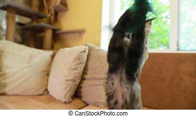 chouchou, chat, jouet, rigolote, nègre, home., jouer, sofa., chat, chaton, animaux familiers, argent, plume, maison, curieux, jeune, surprenant, shag, maine