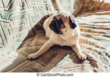 chouchou, chien pug, divan, écoute, home., ordres, mensonge, heureux