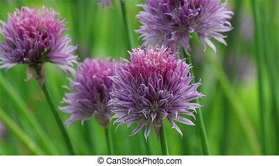 ciboulette, fleur, violet