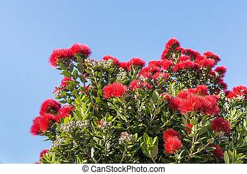ciel bleu, arbre, contre, pohutukawa, fleurs, fleur