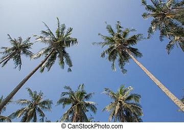 ciel bleu, arbre noix coco