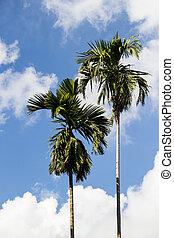 ciel bleu, arbre noix coco, fond