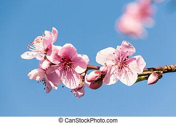 ciel bleu, contre, rose, copie, fleur, pêche, espace, fleurs