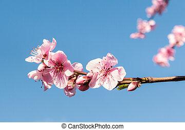 ciel bleu, fleurs, contre, brindille, copie, fleur, fond, pêche, espace, rose, arbre brouillé