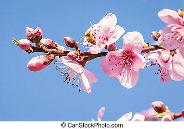 ciel bleu, pêche, fleur, fond, arbre, copie, fleurs, espace