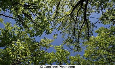 ciel, chêne, cimes arbre, vue