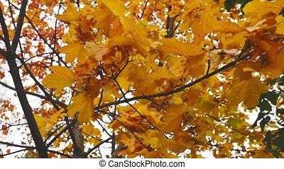 ciel, feuilles automne, branche, érable, sous, mouvementde va-et-vient, jaune, vent