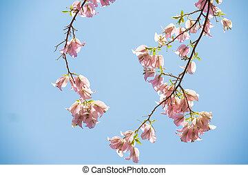 ciel, fleurs, bleu, bougainvillea