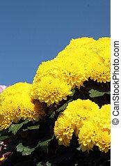 ciel, fleurs, bleu, pâquerette